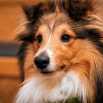 Vani-koira thumbnail