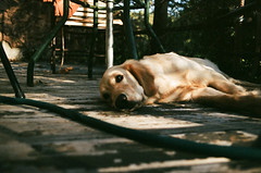 Cali (Vegas Mellor) Tags: california usa springtime 35mm film analogue analogic analog sandiego nature bucolic dog animal laidback labrador alpine memories