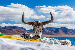 Skull of a yak (Kelvinn Poon) Tags: tibet namtso lakenam nagqu skull yak bosgrunniens 西藏 納木錯 那曲 氂牛