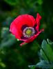Amapola-02 (jagar41_ Juan Antonio) Tags: flores flor flora floración amapolas
