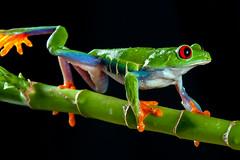 Red-Eyed Tree Frog, CaptiveLight, Bournemouth, UK (rmk2112rmk) Tags: redeyedtreefrog captivelight bournemouth uk treefrog frog amphibian herps agalychniscallidryas