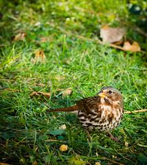 The Fox Sparrow (Wild Birdy) Tags: fox sparrow bird grass cute adorable kicker kabekona north migration migratory avian passerella iliaca ground leaves millet