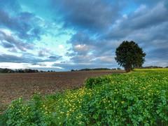 Limburgs landschap (sander_sloots) Tags: landschap limburg mariadorp eijsden tree boom rapeseed koolzaad colza wolken