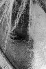 Juste un regard (jora63) Tags: cheval oeil eye horse crinire bw noir et blanc monochrome extrieur texture noiretblanc