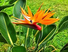 Bird Song (jcc55883) Tags: hawaii oahu hawaiiflowers tropicalflower manoa woodlawn birdofparadise flora ipad ipadair