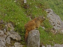 Marmotte (Marmota marmota) (Edouard55) Tags: marmotte france champagnyenvanoise laisonnay murmeltier marmot marmotta marmota