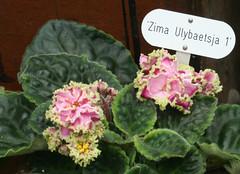 17-IMG_4742 (hemingwayfoto) Tags: berggartenhannover blhen blte blume flora floristik namensschild natur topfpflanze usambara usambaraveilchenzimaulybaetsja veilchen zierpflanze zuchtform