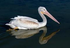 American White Pelican (Ed Sivon) Tags: american america canon nature lasvegas water wildlife wild western white southwest sun clarkcounty clark vegas bird henderson nevada nevadadesert preserve