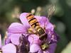IMG_9025.jpg (TonyJ 3006) Tags: episyrphusbalteatus hoverflies