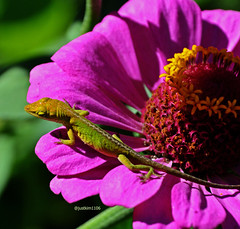 Green anole baby (justkim1106) Tags: nature flower zinnia animal wildlife texas montell uvaldecounty lizard greenanole gardenwildlife reptile