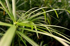 Papyrus (Rubigny Damien) Tags: plant flore papyrus