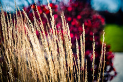 Bright afternoon (rg69olds) Tags: 11202016 50mm 50mmf14dghsm 6d a canondigitalcamera nebraska sigma50mmf14artdghsm canon canoneos6d downtown joslynartmuseum oldmarket omaha sigma sigma50mmf14 bright shining grass brush outdoor 50mmf14dghsm|a