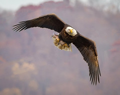 Eyeing the Photographers (tresed47) Tags: 2016 201611nov 20161128conowingoeagles birds canon7d conowingo content eagle flightshot folder general maryland peterscamera petersphotos places takenby us