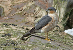 Male Sparrowhawk (Roy Lowry) Tags: accipiternisus sparrowhawk hilbreisland