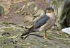 Male Sparrowhawk (Roy Lowry) Tags: accipiternisus sparrowhawk hilbreisland