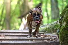 in action (Tams Szarka) Tags: dog pet animal puppy boxerdog boxer outdoor nature forest action nikon strawberry