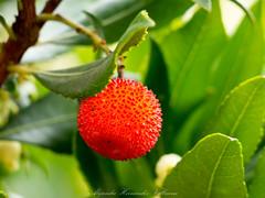 The mature fruit of the Strawberry Tree (Arbutus Unedo). (Alejandro Hernndez Valbuena) Tags: tree red fruit strawberry unedo berry berries evergreen mature fall autumn orange fruits arbutus madroo