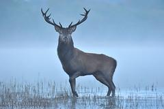 Red deer stag (Karl Wild) Tags: red deer ireland kerry killarney autumn rut stag antlers