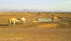 Wild Camels in UAE /     (Irina.yaNeya) Tags: camel uae wild    camello eau    animals