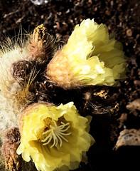 La Palma 28 (megegj)) Tags: gert bloem flower fleur blume fiore cactus