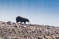 Black bear, Glacier NP, US (Manuel ROMARIS) Tags: montana glaciernationalpark blackbear