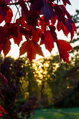 DSC_7521 (sergeysemendyaev) Tags: 2016 russia krasnodar autumn fall       red leaves maple sunset   dusk