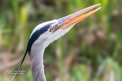 Great Blue Heron with Something to Say at Everglades National Park (D200-PAUL) Tags: greatblueheron herongreatblue greatblue heron royalpalm anhingatrail evergladesnationalpark everglades nationalpark southernflorida southflorida florida paulfernandez