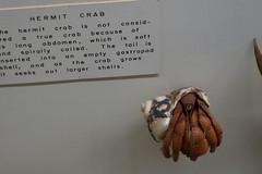 UOI Museum of Natural History 11-16 59 (anothertom) Tags: iowa universityofiowamuseumofnaturalhistory museum iowacity educational diversityoflifeexhibitshallway biodiversity display hermit crab 2016 sonyrx100ii