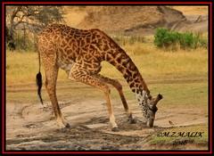 MASAI GIRAFFE (Giraffe camelopardalis tippelskirchii) WITH YELLOW-BILLED OXPECKER (Buphagus africanus Linnaeus)......MASAI MARA......SEPT 2016 (M Z Malik) Tags: nikon d3x 200400mm14afs kenya africa safari wildlife masaimara keekoroklodge exoticafricanwildlife masaigiraffe ngc
