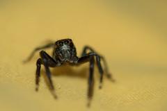Jumping spider ( to be identified ) (M@rcassin) Tags: jumpingspider spider salticidae saltique araignée araignéesaltique arachnide insecte bug animal wild wildlife nature nikon nikond750 nikkor nikon105vr macro kenko ecuador equateur amazonia amazonie amazonieéquatorienne jungle cuyabeno