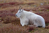 Mountain Goat (DCarline) Tags: canon7dmkii canon300mmf28is mtevans mountaingoat mountevans goat alpine tundra dancarlinephotography coloradowildlife colorado coloradooutdoors