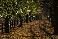 Autumn avenue at Houghton House (Jayembee69) Tags: autumn tree avenue autumnal leaf leaves bedfordshire beds houghtonhouse englishheritage uk england english unitedkingdom fence fall