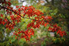 Leaves of Fire (JN) Tags: nikon d700 85mmf14g 85mm f14 germany fall autumn deutschland rheinlandpfalz rheinland pfalz trees leaves transition