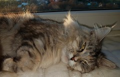 Catching the sunset warm rays (eagle1effi) Tags: mainecoon miezi grace silvana mieize cat kitty felini