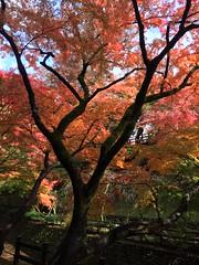Autumn leaves in Kyoto #3 (yamabuki***) Tags: kyoto    iphone
