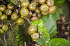 Roxburgh Fig DSL7349 (iloleo) Tags: fig fruit florida nature fortmyers edisonestate nikond7000 dof tree