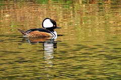 Hooded Marganser (jkellogg01) Tags: hooded marganser duck pond funny looking big headed black white reflection brown green cute cuddle beautiful