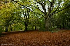 Autumn Trees (Baljinder.Gill) Tags: tree trees treeleaves leaves leavesontheground autumn autumncolours autumnleaves nikon nature naturephotography outdoorphotography outdoor judywoods woods season