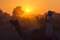 At Pushkar (Akilan T) Tags: canon5dmk3 canon sigma sigma35mmart akilanphotography akilan camels silhouettes pushkarmela pushkarfair pushkarcamelfair pushkar india rajasthan chennaiweekendclickers cwc561 cwc