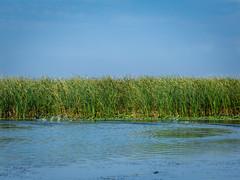 DSC02817-4 (martin_cristian) Tags: water bird danube river delta