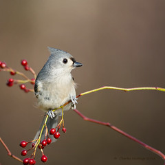 Tufted Titmouse-b (CharlesHastings) Tags: chickadee niagarafalls wildlife tuftedtitmouse birds nature