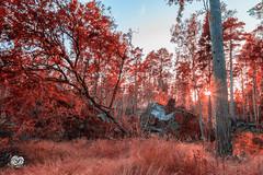 red shiny forest (Geert Weggen) Tags: icejmtlandsnowswedenwintergeertweggenhardekofoxjmtland ragunda geert weggen tree plant nature landscape birch forest ground branch light sweden park leaves sunset mountain sun ray rock autumn