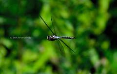 Variable Darner Dragonfly flight No. 1 (Trevdog67) Tags: insect inflight wings dragonfly head freezeframe predator highspeed thorax abdomen variabledarner aeshnainterrupta aeschnedomino