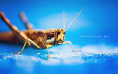 Orthoptera Caelifera (jrmecastilloux) Tags: blue light macro water pool 35mm bug insect nikon dof natural bokeh grasshopper nikkor f18 orthoptera caelifera d40