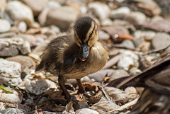 20150711_79 - kleines Model (grasso.gino) Tags: cute bird nature animals zoo tiere duck nikon natur duckling ente dortmund fledgling vogel niedlich kken d3000