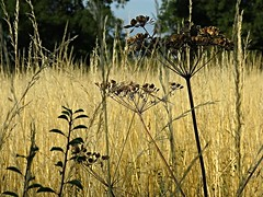 Late Summer (Deepgreen2009) Tags: summer plants home grass flora seed dry august heads late paddock