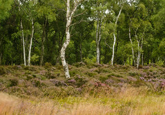 Birch, Stanton Moor (m_graf67) Tags: uk trees landscape heather derbyshire birch stantonmoor