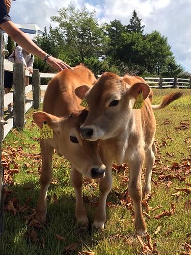 ジャージー牛の仔牛