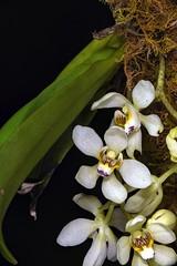 Saccochilus falcatus ex Batemans Bay NSW (species orchids) Tags: orchid macro micro species falcatus zerene nikond810 dofstacking drymoanthusadversus cognysis stackshot saccochilus