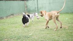 DSC02934 (agorayebm) Tags: dog bordercollie dalmatian crick dlmata